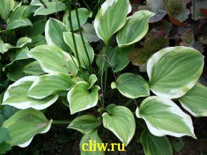 Хоста гибридная (hosta hybrida) хостовые (hostaceae) lemon delight
