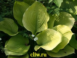 Хоста гибридная (hosta hybrida) хостовые (hostaceae) sum and substance