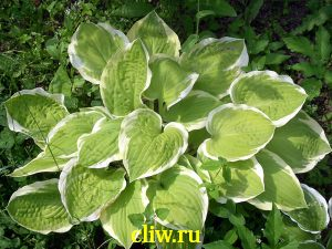 Хоста гибридная (hosta hybrida) хостовые (hostaceae) shade fanfare
