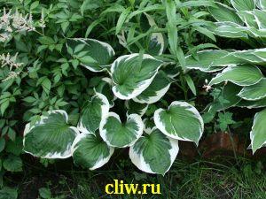 Хоста гибридная (hosta hybrida) хостовые (hostaceae) patriot