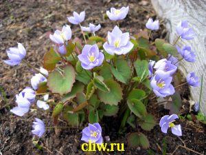 Джефферсония сомнительная (jeffersonia dubia) подофилловые (podophyllaceae)