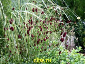 Кровохлебка лекарственная (sanguisorba officinalis) розоцветные (rosaceae)