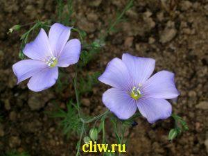 Лён многолетний (linum perenne) льновые (linaceae)