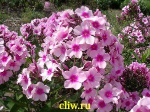 Флокс метельчатый (phlox paniculata) синюховые (polemoniaceae) bright eyes