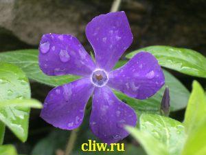 Барвинок большой (vinca major) кутровые (apocynaceae)