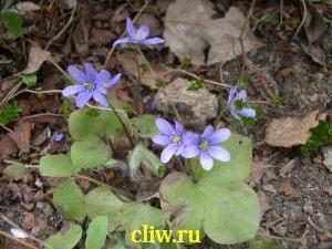 Печёночница благородная (hepatica nobilis) лютиковые (ranunculaceae)
