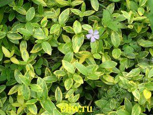 Барвинок малый (vinca minor) кутровые (apocynaceae) aureovariegata