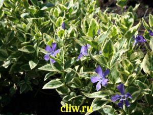 Барвинок большой (vinca major) кутровые (apocynaceae) variegata