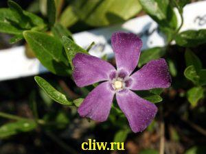 Барвинок малый (vinca minor) кутровые (apocynaceae) atropurpurea