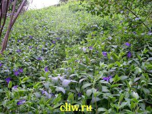 Барвинок малый (vinca minor) кутровые (apocynaceae)