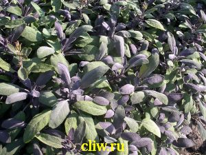 Шалфей лекарственный (salvia officinalis) губоцветные (lamiaceae) purpurascens