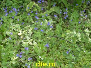 Барвинок малый (vinca minor) кутровые (apocynaceae) argenteomarginata