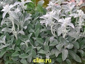 Чистец шерстистый (stachys byzantina) губоцветные (lamiaceae) silver carpet