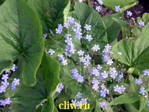 Бруннера сибирская (brunnera sibirica) бурачниковые (boraginaceae)