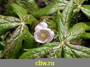 Подофилл эмода (podophyllum emodii) барбарисовые (berberidaceae)