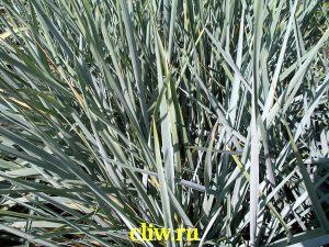 Колосняк гигантский (elymus giganteus) мятликовые (poaceae)