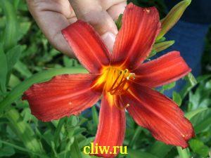 Лилейник гибридный (hemerocallis hybrida) лилейные (liliaceae) crimson pirate