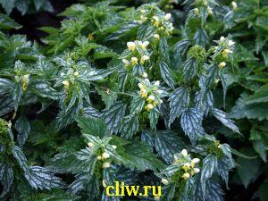 Лямиаструм желтый (lamiastrum galeobdolon) губоцветные (lamiaceae) hermans pride