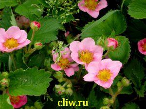 Земляника декоративная (fragaria ananassa) розоцветные (rosaceae) pink panda