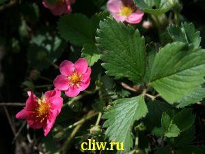 Земляника декоративная (fragaria virginiana) розоцветные (rosaceae) lipstick