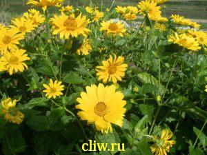 Солнечник подсолнечниковидный (heliopsis helianthoides) астровые (asteraceae) scabra