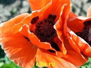 Мак восточный (papaver orientale) маковые (papaveraceae)