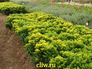 Золотарник гибридный (solidago hybrida) астровые (asteraceae) nana