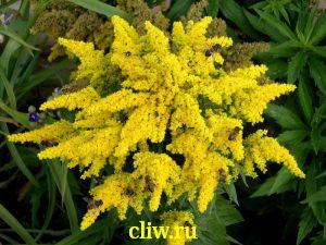 Золотарник гибридный (solidago hybrida) астровые (asteraceae) dzintra