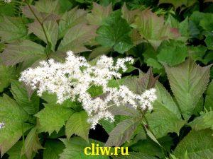 Роджерсия стополистная (rodgersia podophylla) камнеломковые (saxifragaceae)