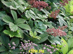 Роджерсия генриха (rodgersia  henrici) камнеломковые (saxifragaceae)