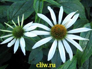 Эхинацея пурпурная (echinacea purpurea) астровые (asteraceae) alba
