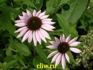 Эхинацея пурпурная (echinacea purpurea) астровые (asteraceae) magnus
