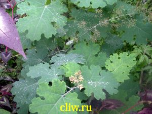 Маклея сердцелистная (macleaya cordata) маковые (papaveraceae)