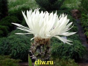 Василек горный (centaurea montana) астровые (asteraceae) alba