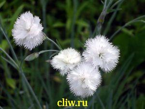 Гвоздика перистая (dianthus plumarius) гвоздичные (caryophyllaceae) haytor white