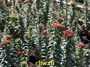 Родиола зубчатая (rhodiola rhodantha) толстянковые (crassulaceae)