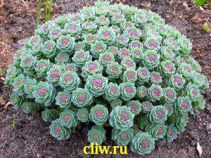 Родиола розовая (rhodiola rosea) толстянковые (crassulaceae)