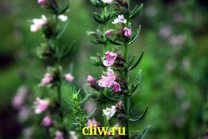 Иссоп лекарственный (hyssopus officinalis) губоцветные (lamiaceae)
