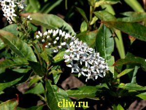 Вербейник ландышевый (lysimachia clethroides  ) первоцветные (primulaceae)