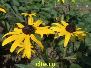 Рудбекия блестящая (rudbeckia fulgida) астровые (asteraceae) goldsturm