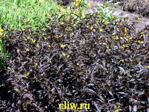 Вербейник реснитчатый (lysimachia ciliata) первоцветные (primulaceae) firecracker