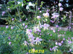 Василистник двукрылоплодный (thalictrum dipterocarpum) лютиковые (ranunculaceae)