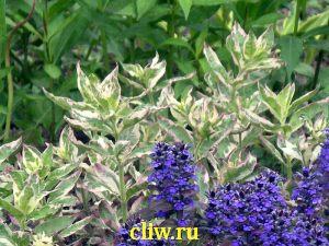 Вербейник точечный (lysimachia punctata) первоцветные (primulaceae) tricolor