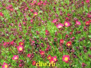 Камнеломка арендса (saxifraga arendsii) камнеломковые (saxifragaceae) peter pan