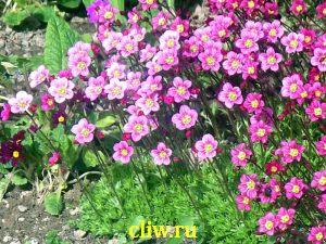 Камнеломка арендса (saxifraga arendsii) камнеломковые (saxifragaceae) rosenzwerg