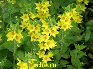 Вербейник точечный (lysimachia punctata) первоцветные (primulaceae)
