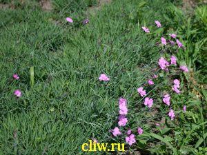 Гвоздика серовато-голубая (dianthus gratianopolithanus) гвоздичные (caryophyllaceae) eydangeri