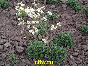 Камнеломка котиледон (saxifraga cotyledon) камнеломковые (saxifragaceae) golden fall with