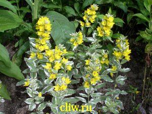 Вербейник точечный (lysimachia punctata) первоцветные (primulaceae) variegata