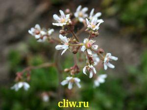 Камнеломка метельчатая (saxifraga paniculata) камнеломковые (saxifragaceae)